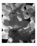 spring daffodils black and white image