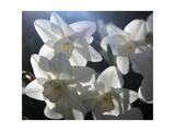 white daffodils in spring sunshine