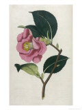 Also Known as Rose Camellia