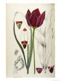 Tulipa Cypria a Deep Red Tulip