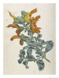 Or Salvia Aurea Golden Sage or Sandsalie