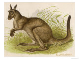 An Engraving of a Kangaroo