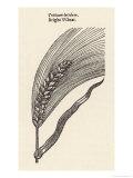 Triticum Lucidum Bright Wheat