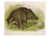 Wild Boar Seated in the Undergrowth