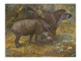 Two American Tapir