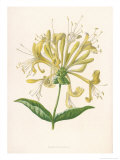 Honeysuckle