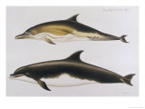 Two Varieties of Dolphin: Delphinus Delphis (Top) Delphinus Tursio