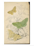 Brimstone Moth Swallowtail Moth Large Emerald