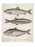 Three Types of Herring: 1 Common Herring 2 Silver-Striped Herring 3 African Herring