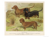 Three Varieties of Dachshund  Smooth Red and Black-And-Tan