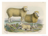 Ryeland Sheep: Ram and Ewe Bred by Mr Tomkins of Kingspion Herefordshire