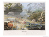 An Attractive Blue Lobster with Red Feelers and a Crab and a Shrimp and Some Other Crustacea