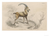 The European Ibex