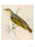 Wood Warbler
