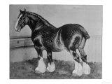 Shire Horse Blythwood Conqueror