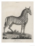 Zebra