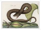 Vipera Fusca a Vicious Viper