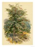 Mountain Ash or Rowan Tree