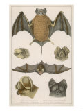 Various Species of Bat