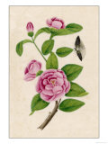 Camellia and Insect