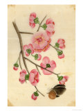 Oriental Style Depiction of Pink Cherry Blossom Showing the Branch Buds and Open Flowers