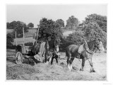 Harvesting in Kent with a Pair of Shire Horses