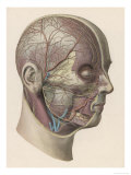 Detailed Diagram Showing Muscles and Veins Inside of the Head