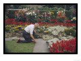 Man Crouches in His Colourful Garden Tending to the Border of His Lawn