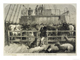 Importing Cattle on Board the Batavier a London to Rotterdam Steamship