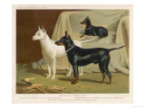 Toy Terrier  White Terrier  Black and Tan Terrier