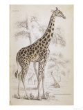 Giraffes in North Africa