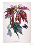 Poinsettia with Attendant Butterfly