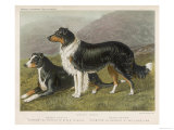 Two Collies  Rough and Smooth-Coated Tricolour
