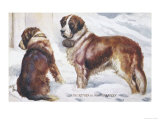 Two St Bernard Rescue Dogs in the Alpine Snow