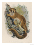 Black-Eared Mouse Lemur Climbing a Tree