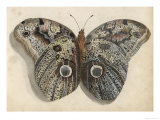 Amateur Naturalist&#39;s Depiction of a Moth