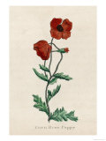 Corn Poppy or Corn Rose Poppy or Field Poppy