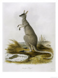 Macropus Parryi