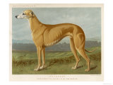 An Example of a Fallow Colour Greyhound Standing
