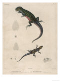 Pink-Bellied Leaf Lizard and Another Smaller Lizard Type Labelled as Trachycyclus Marmoratus