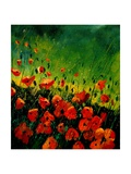 red orange poppies