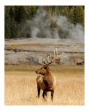 Old Faithful Elk