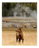 Old Faithful Elk