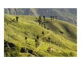Tea estates in Darjeeling  West Bengal  India