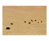 Flock of yaks on the pasture in Tibet