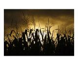Corn field silhouettes  Azores