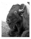 Buffalo 21