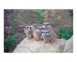 4 Meerkats Peering