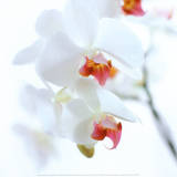 White and Pink Orchid