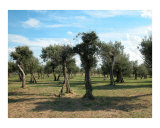 Grottoes Of Catullus 2 - Olive trees